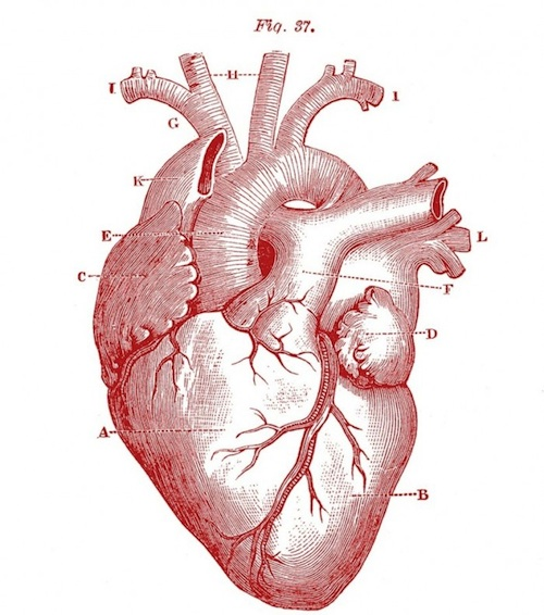 Royalty-Free-Images-Anatomy-Heart-GraphicsFairy-red11-700x7921