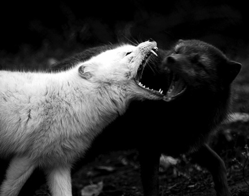 White-wolf-and-black-wolf-fighting